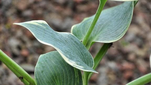 Nahaufnahme grüner Blätter mit hellgrünem Rand.