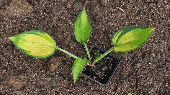 Aus einem kleinen Blumentopf raken gelbe Blätter mit grünen Rändern.