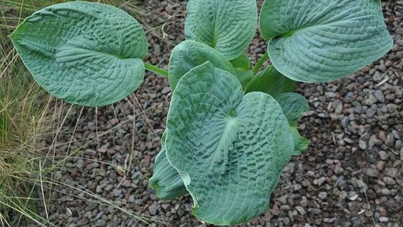 Leicht schrumpelige, grüne Blätter mit Lininestruktur in Nahaufnahme.