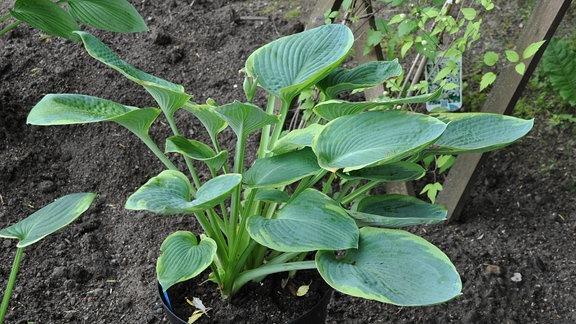 Eine Pflanze mit dunkelgrünen Blättern, die hellgrüne Ränder haben, steht in einem Topf in einem Beet.