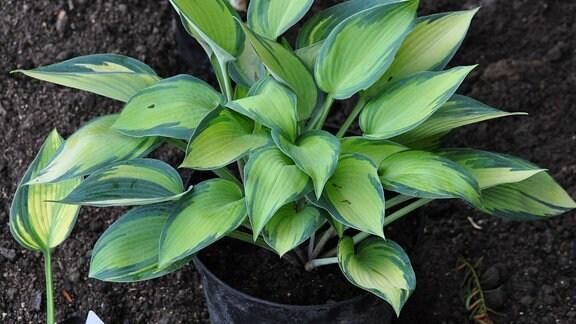 Eine Pflanze mit hellgrünen Blättern, die dunkelgrün gerändert sind, steht auf einem Beet.