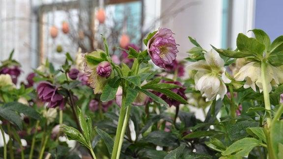 Lenzrosen Double Ellen-Mix Blick auf verschiedenen Blüten in Weiß- und Lila-Farbtönen. Im Hintergrund ist ein Osterstrauch zu erkennen.