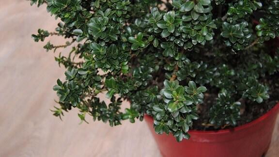 Eine Pflanze der Sorte Ilex crenata ′Green Dragon′ in einem Topf
