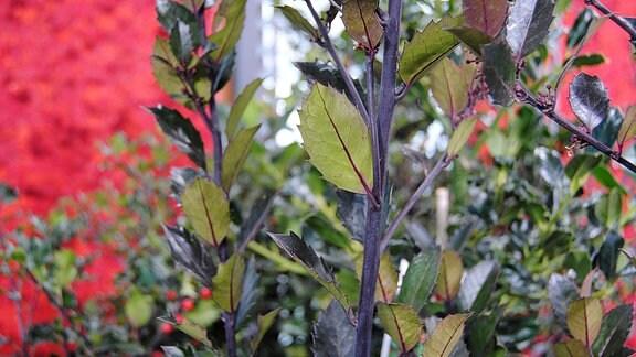 Senkrecht nach oben wachsende, grün-blaue Triebe der Pflanze Ilex meserveae ′Heckenblau
