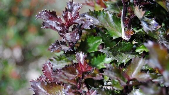 Grüne und dunkelrote Triebe und Blätter der Pflanze Ilex meserveae ′Little Rascal′