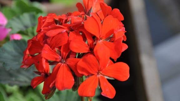 Leuchtend rote Blüte in Form einer Kugel.