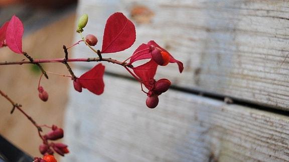 Zweig eines Pfaffenhütchen-Strauches mit Blütenknospen