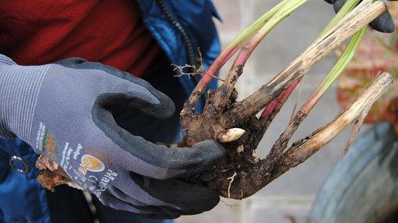 Eine Hand in einem Gartenhandschuh zeigt auf einen etwa drei Zentimeter langen, neuen Trieb am Fuß einer ausgegrabenen Pfingstrose