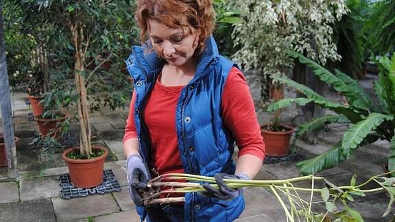 Die Gartenexpertin Brigitte Goss steht mit Handschuhen an den Händen in einem Gewächshaus des egapark Erfurt und hält eine ausgegrabene Pfingstrose