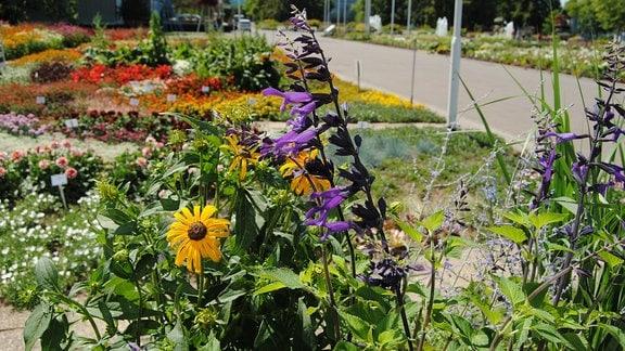 Verschiedene Pflanzen, darunter hochgewachsener Salbei und gelb blühender Sonnenhut, im Egapark Erfurt