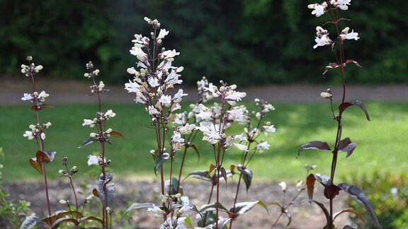 Blumen mit vielen weißen Blüten vor einem grünen Hintergrund.