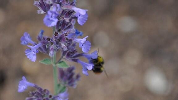 Nahaufnahme leuchtendblauer Blüten mit einer Biene.