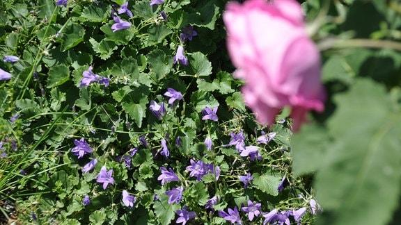 Blick auf eine grüne Bodendecker mit lila Blüten. Im Vordergrund ist eine rosa Blüte unscharf zu sehen.