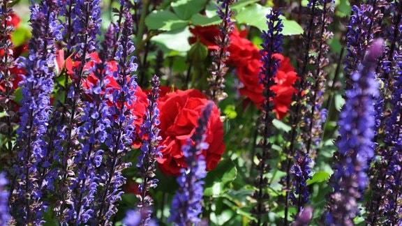 Zwischen unzähligen blauen Blüten sind rote Rosenblüten zu sehen.