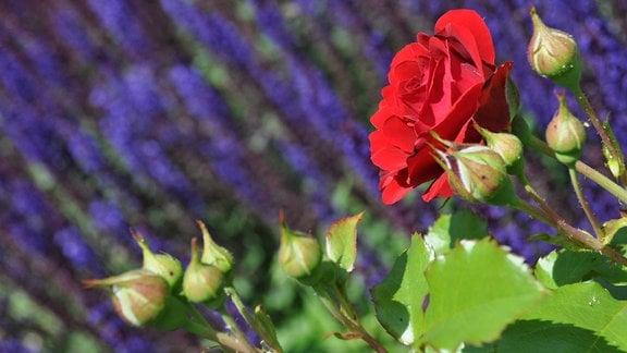Eine rote Rosenblüte und Rosenknospen vor unscharfen blauen Blüten.