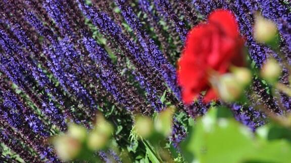 Ein Meer aus blauen Blüten. Davor ist unscharf eine rote Blüte mit Knospen zu sehen.