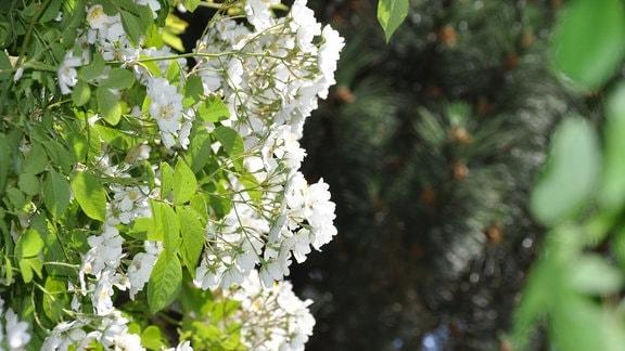 Von links raken weiße Blüten und grüne Bilder bis zur Bildmitte. Sie sind sind scharf zu erkennen. Der Hintergrund ist dunkel und unscharf.