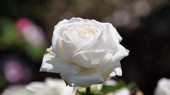 Detailaufnaheme einer weißen Rosenblüte in strahlendem Sonnenschein. Der Hintergrund ist unscharf.