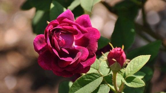 Eine rosarote Rosenblüte neben einer gleichfarbiten Rosenknospe mit grünen Blättern.