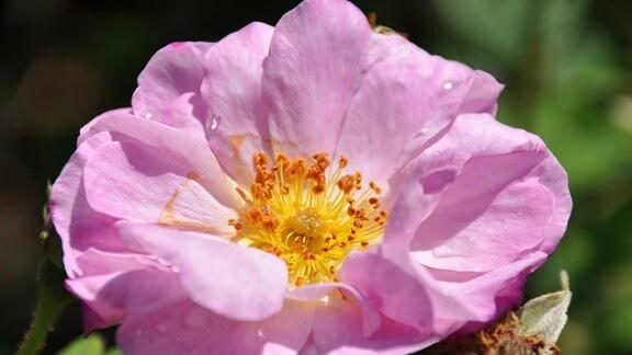 Detailaufnahme einer lila Blüte mit gelbem Stempel. Auf der Blüte sind Wassertropfen zu erkennen.