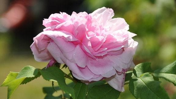 alte rosen eine auswahl mdr de. Black Bedroom Furniture Sets. Home Design Ideas