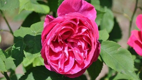 Blick auf eine rote Rosenblüte mit einzelnen Wassertropfen.