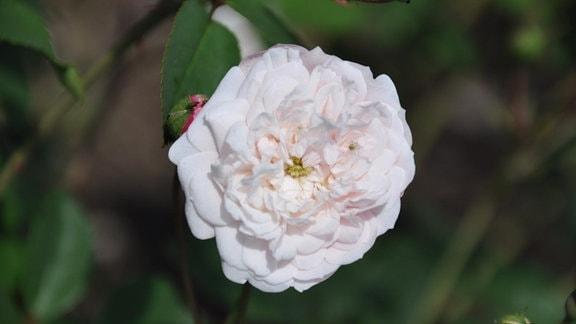 Nahaufnahme einer weißen Rosenblüte mit einem kleinen Tierchen.