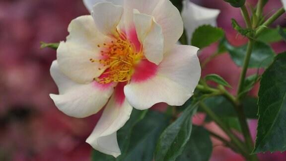 Nahaufnahme einer hellen Blüten mit rosa Füllung und gelbem Stempel.