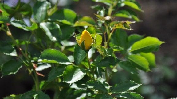 Zwischen grünen Blättern ist eine gelbe Knospe zu sehen.