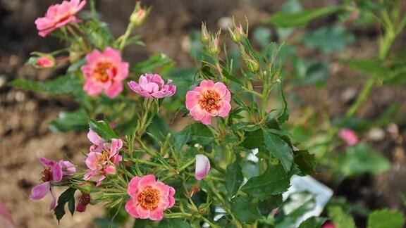 Nahaufnahme von mehreren Rosa-Blüten.