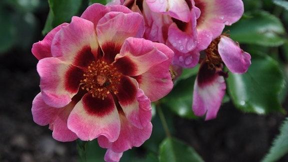 Nahaufnahme von einer rosa Blüte mit dunkler Füllung.