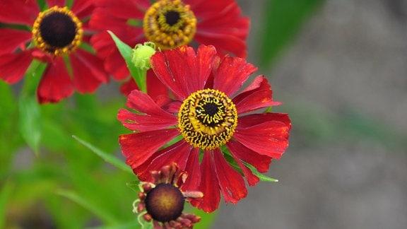 Nahaufnahme einer roten Blüte mit einem gelben Stempel.