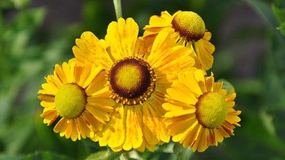 Nahaufnahme mehrerer gelber Blüten.