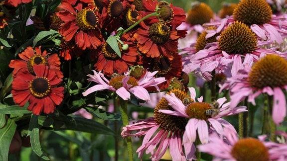 Nahaufnahme von kupferfarbenen und lilafarbenen Blüten.