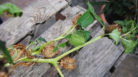 Triebe mit braunen und grünen, stacheligen Samenkapseln des Stechapfels.