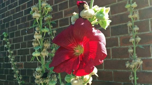 Eine einzelne, dunkelrote Blüte am Stängel einer Stockrose vor einer Backsteinmauer