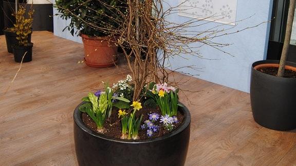 Ein Scheinhasel-Strauch in einem dunkelgrauen Kübel, in den zusätzlich Frühblüher wie Osterglocken, Hyazinthen und Primeln gepflanzt wurden