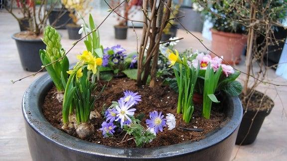 Frühblüher wie Osterglocken, Hyazinthen und Primeln stehen zusammen in einem dunkelgrauen Kübel mit einem Scheinhasel-Strauch