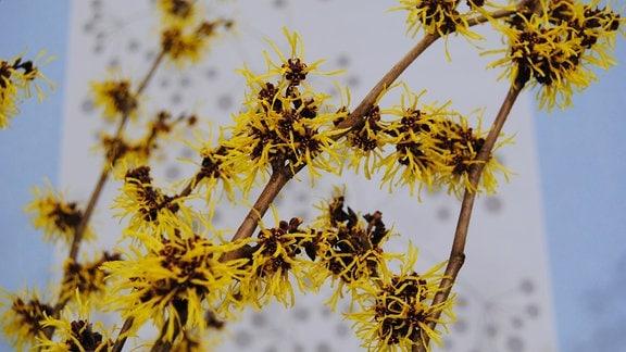 Gelbe Blüten an einem Zaubernuss-Strauch