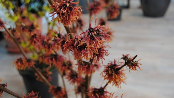 Orange-rote Blüten an einem Zaubernuss-Strauch der Sorte 'Diane'
