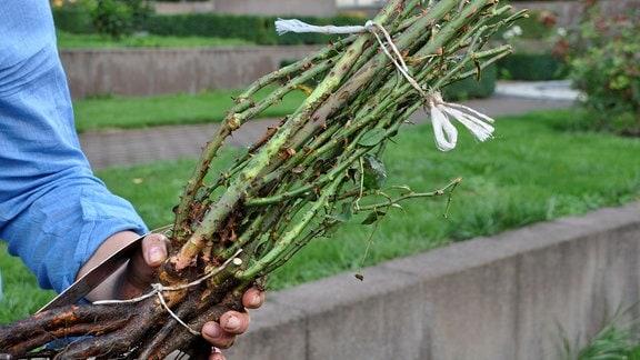 Eine Hand hält oben und in der Mitte zusammengebundene Rosenstiele, an denen noch die Wurzel dran ist.