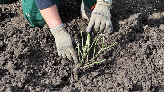 Ein Mann zeigt mit seinem Finger auf ein Stück an einer eingepflanzten, nach oben abgeschnittenen Rose.