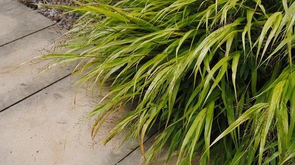 Hellgrün bis gelbliche Blätter und zarte Rispen des Ziergrases Hakonechlora macra Aureola an einem Weg im Gräsergarten im Egapark in Erfurt