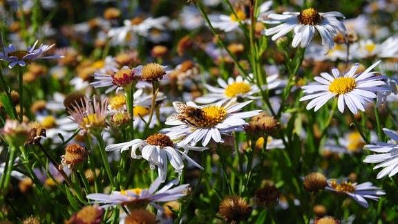 Biene auf Blüte der Schön-Aster mit dem Sortennamen Madiva