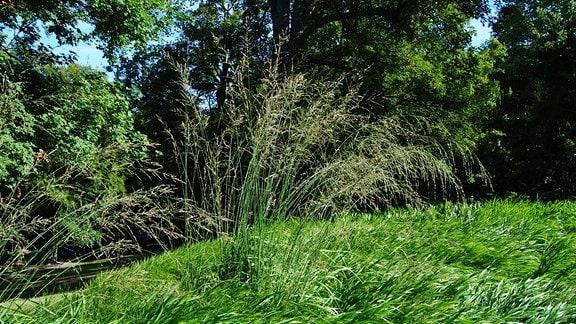 Riesen-Pfeifengras in einem Park