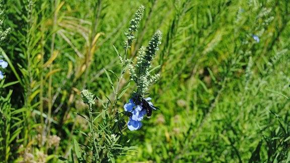 Blauer Salbei mit Insekt auf der Blüte