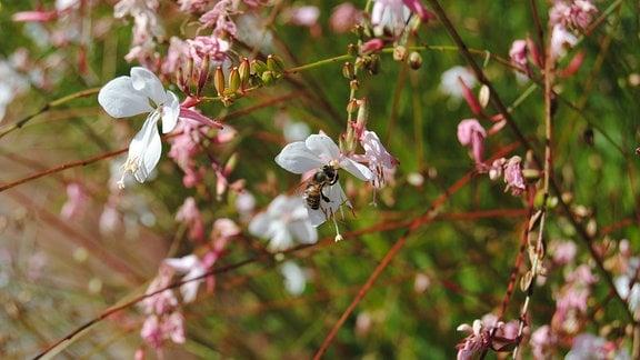 blühende Prachtkerze mit einer Biene in einer Blüte