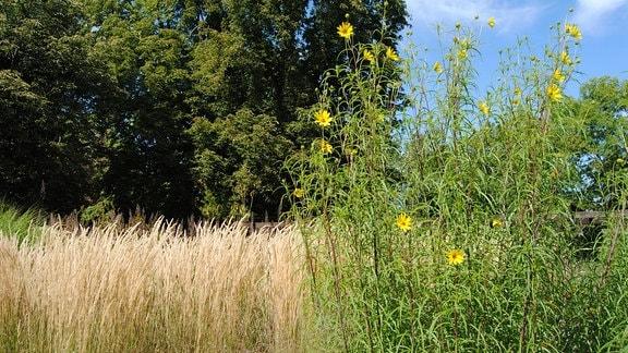 Weidenblättrige Sonnenblume im Gräsergarten