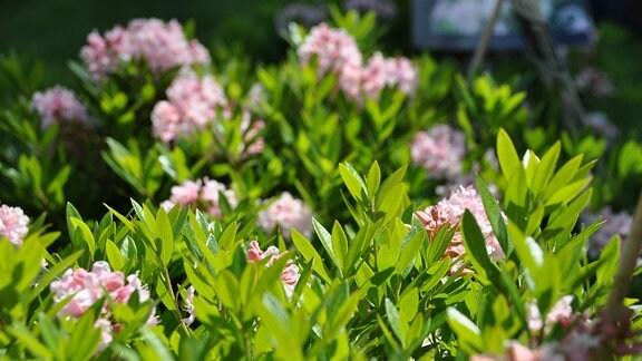 Nahaufnahme von rosa Blüten und kleinen grünen Blättern.