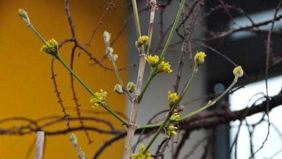 Brauner Stamm mit grünen Zweigen und gelben Blütentrie